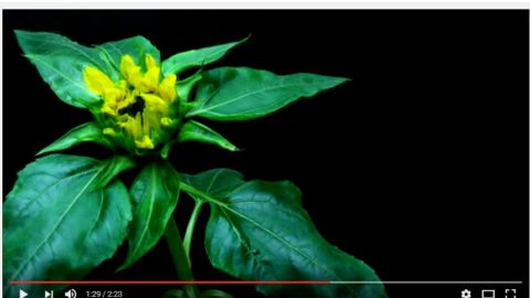 Video of Time Lapse Sunflower Growth